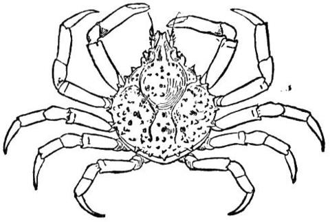 98 dessins de coloriage araign e de mer imprimer - Araignee dessin ...