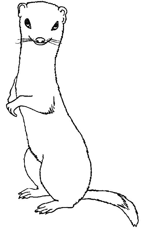 coloriage � dessiner de belette