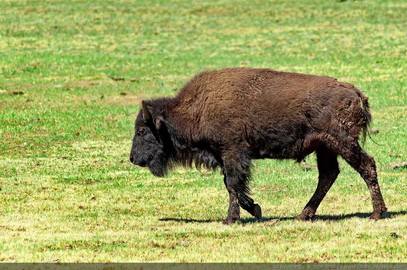 coloriage de bison