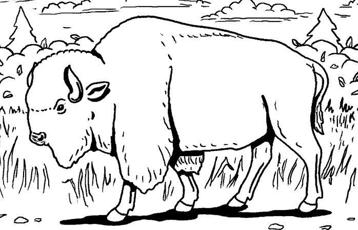dessin à colorier de bison