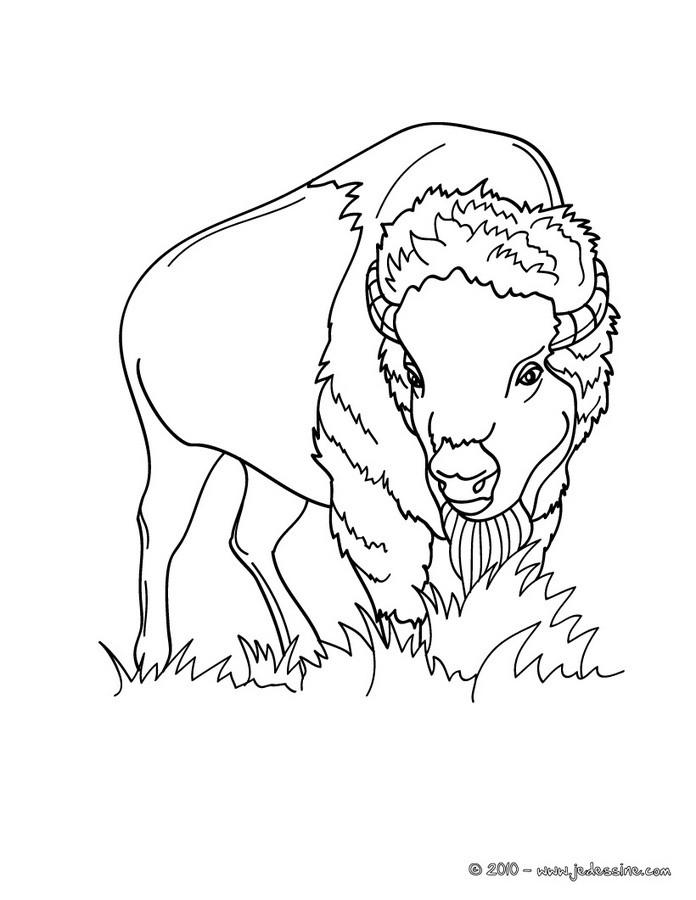 dessin graine de bison
