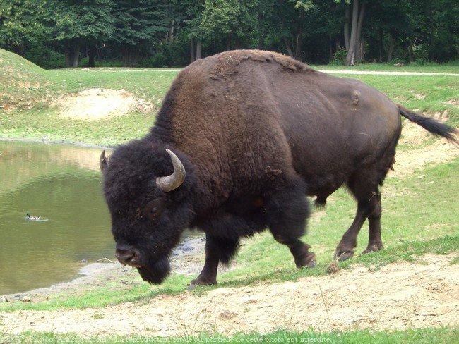 coloriage à dessiner gratuit de bison