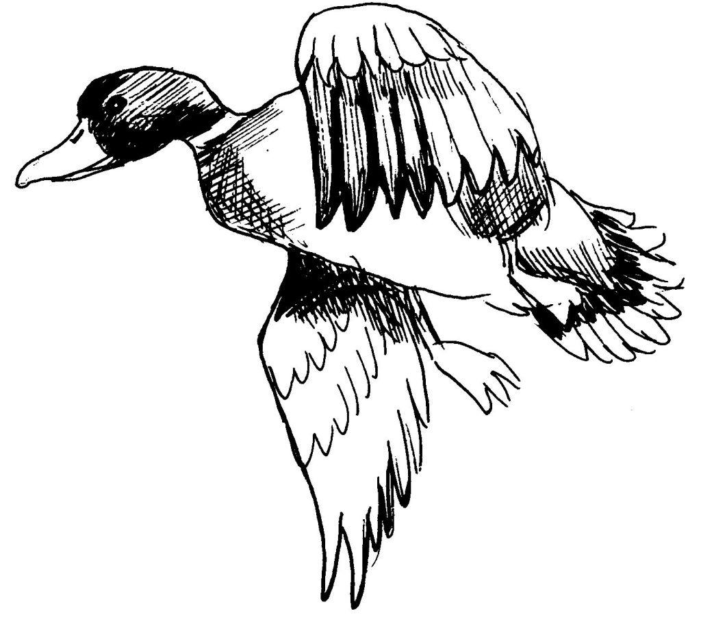 Coloriage Canard Colvert Imprimer à Imprimer