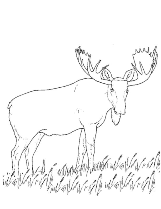 coloriage � dessiner de caribou