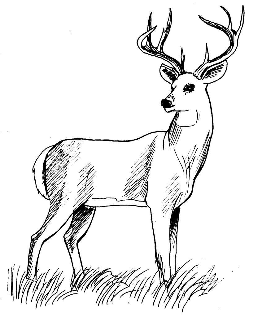 coloriage à dessiner de cerf et sanglier