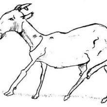 dessin de chèvre