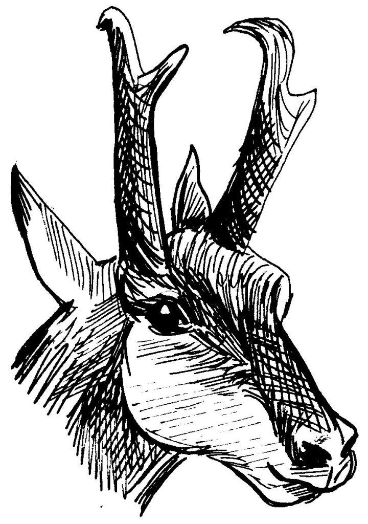 coloriage à dessiner de chevreuil