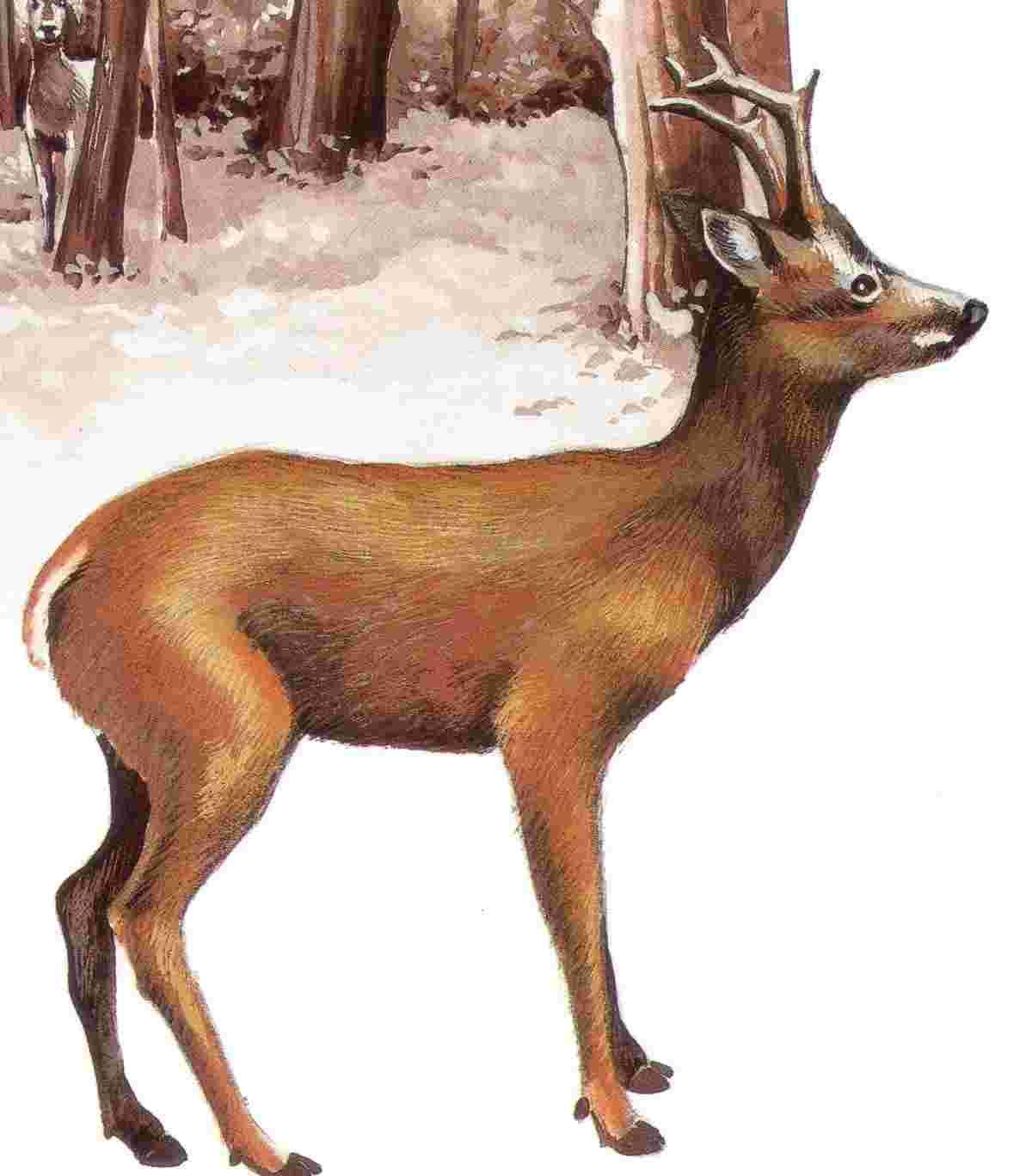 dessin à colorier d'un chevreuil