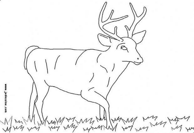 dessin à colorier chevreuil