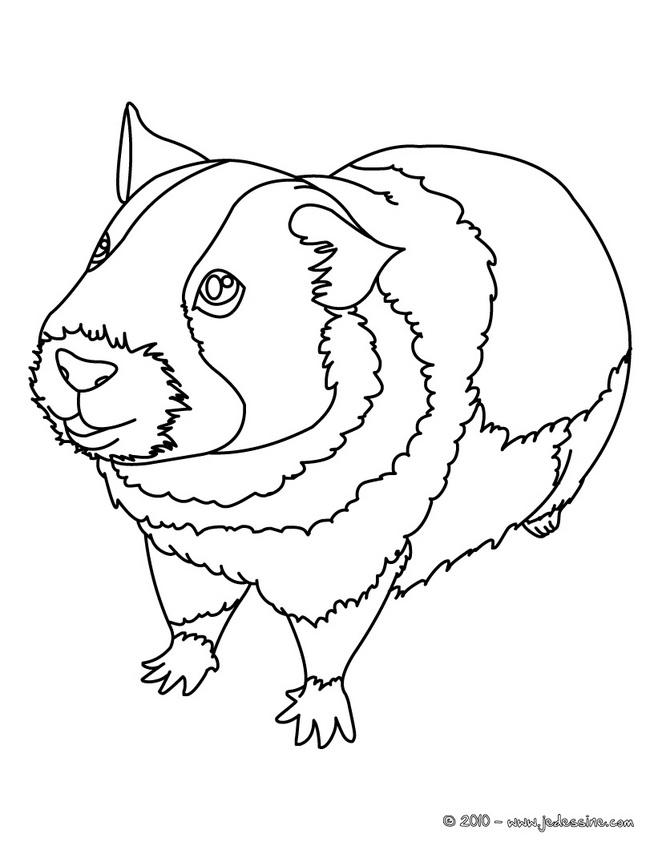 Coloriage magique cochon d 39 inde - Cochon a dessiner ...