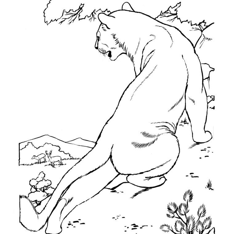 dessin cougar
