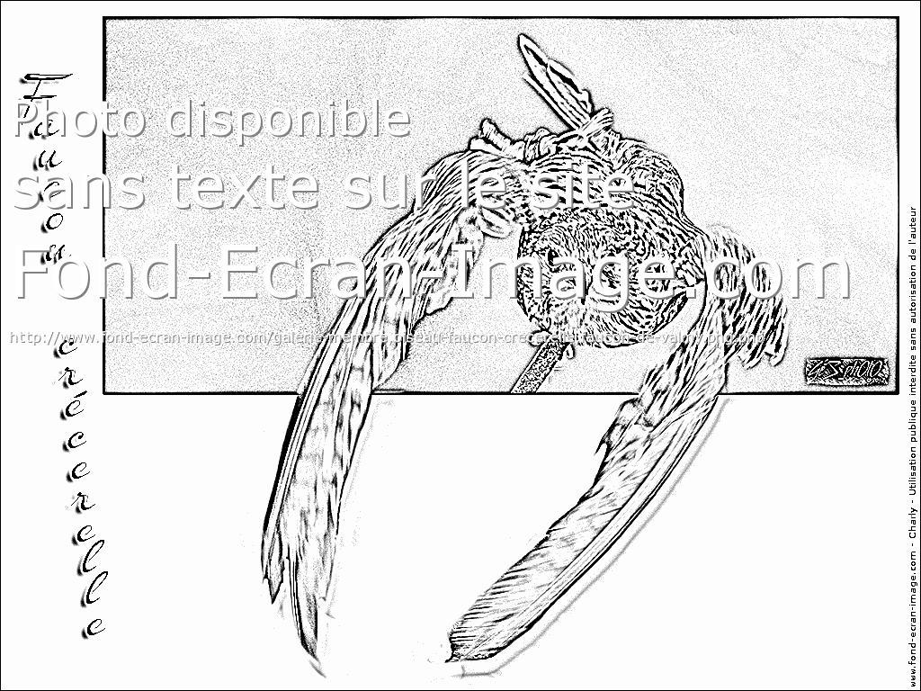 dessin faucon crecerelle