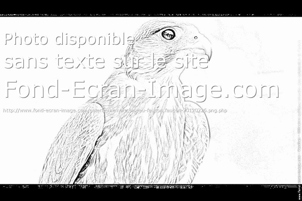 dessin à colorier faucon crecerelle