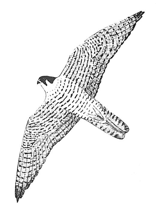 coloriage à dessiner faucon crecerelle