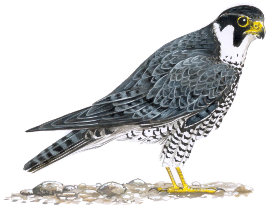 coloriage chevalier du faucon