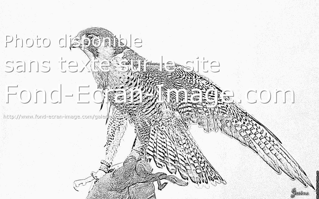 coloriage à dessiner chevalier du faucon