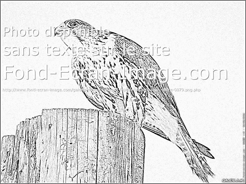 coloriage à dessiner faucon hobereau