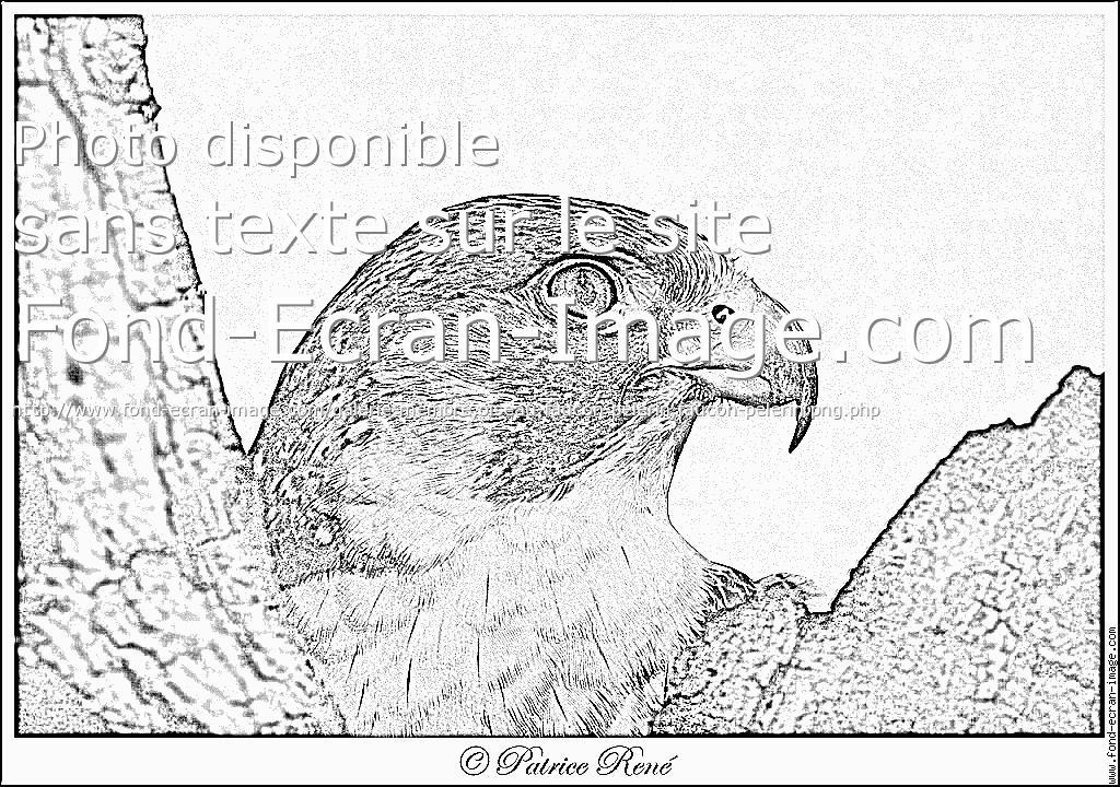 coloriage à dessiner à imprimer faucon