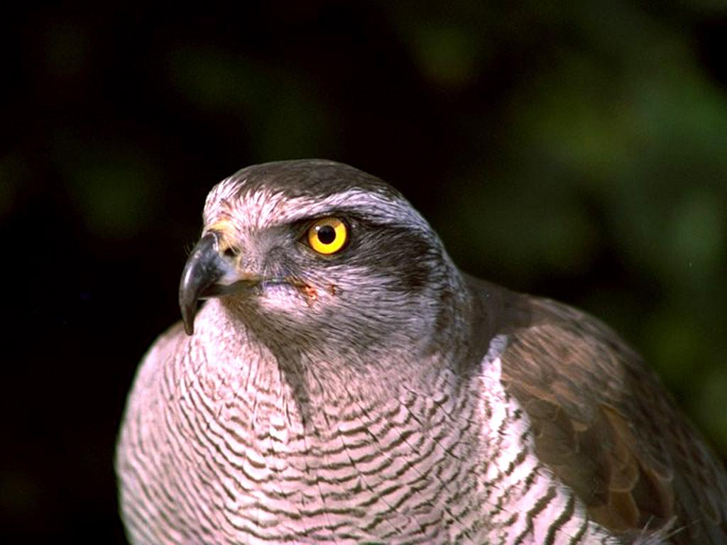 coloriage à dessiner oeil de faucon