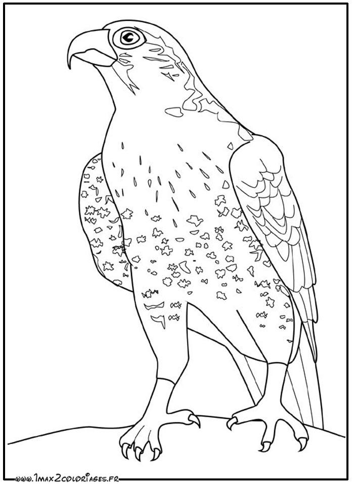 dessin à colorier faucon hobereau