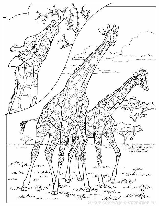 dessin girafe sans tache