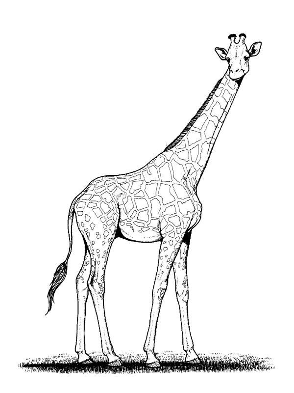 coloriage girafe madagascar
