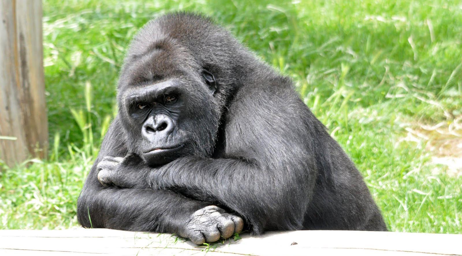 Coloriage gorille gratuit - Gorille coloriage ...