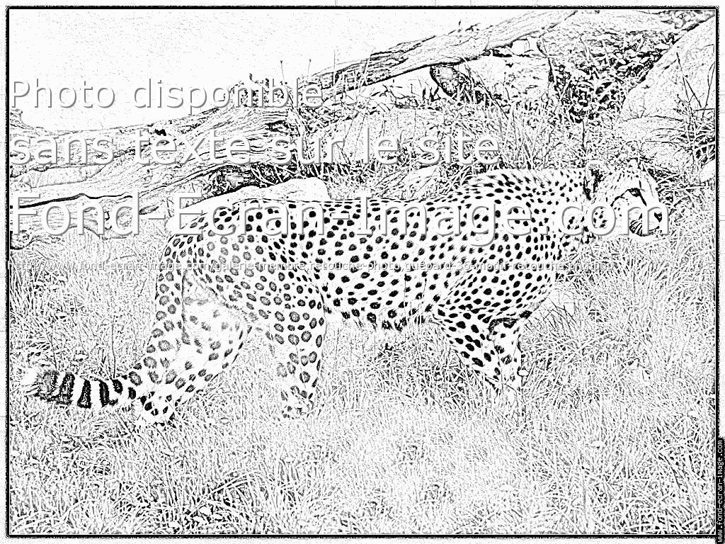 dessin à colorier guépard à imprimer