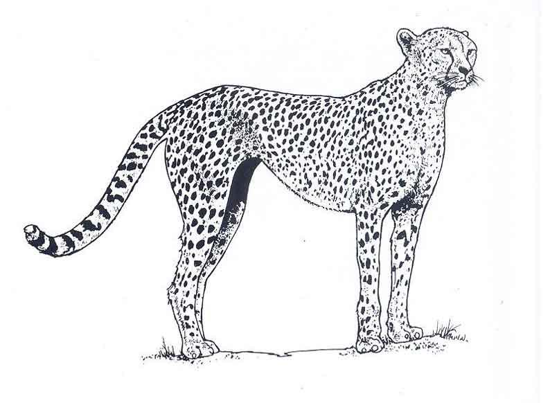 dessin à colorier guépard qui court