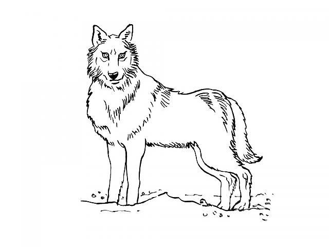 Dessin de loup garou a imprimer - Coloriage magique loup ...