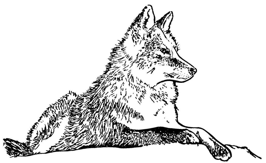 dessin le loup qui voulait
