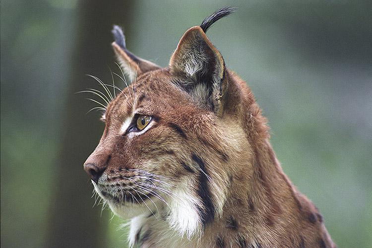 dessin à colorier de lynx