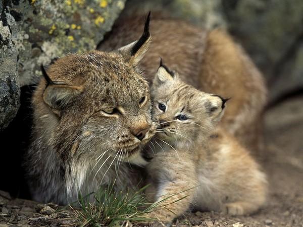 coloriage à dessiner bébé lynx