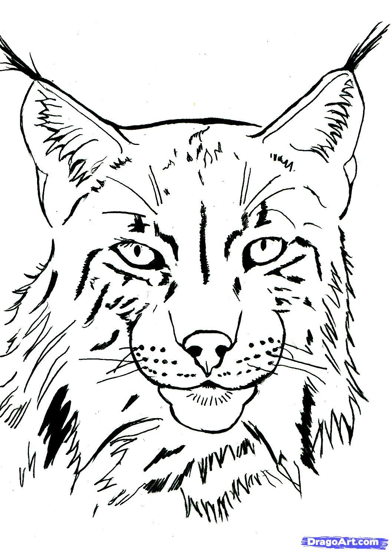 coloriage gratuit de lynx