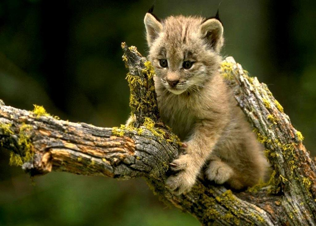 dessin � imprimer lynx