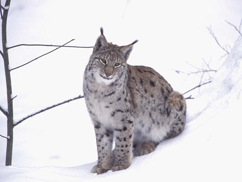 dessin � colorier lynx ligne