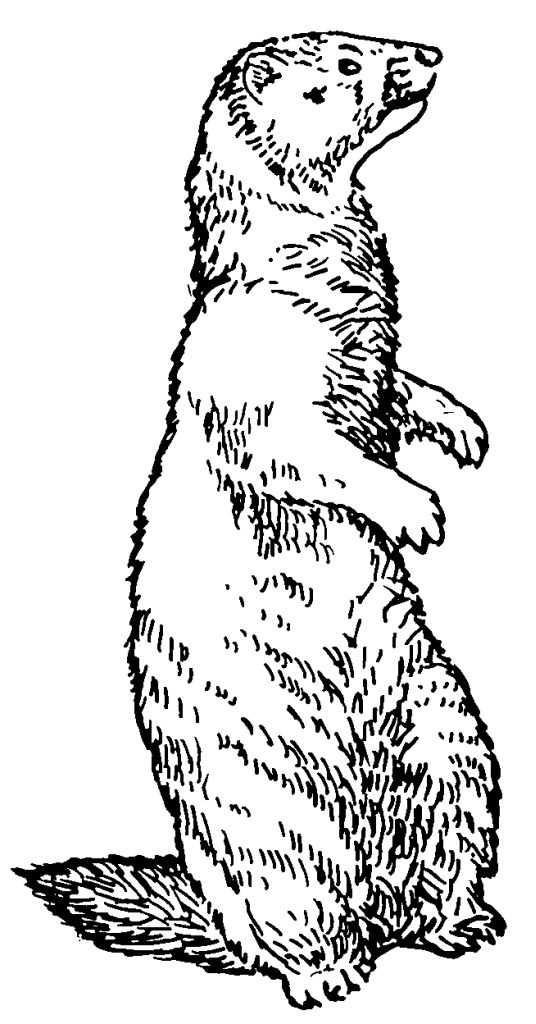 dessin marmotte montagne