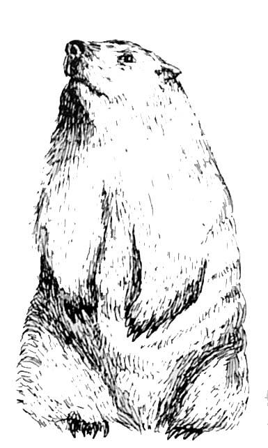 dessin � colorier � imprimer marmotte