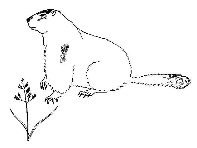 Coloriage dessiner d 39 une marmotte - Dessiner une marmotte ...