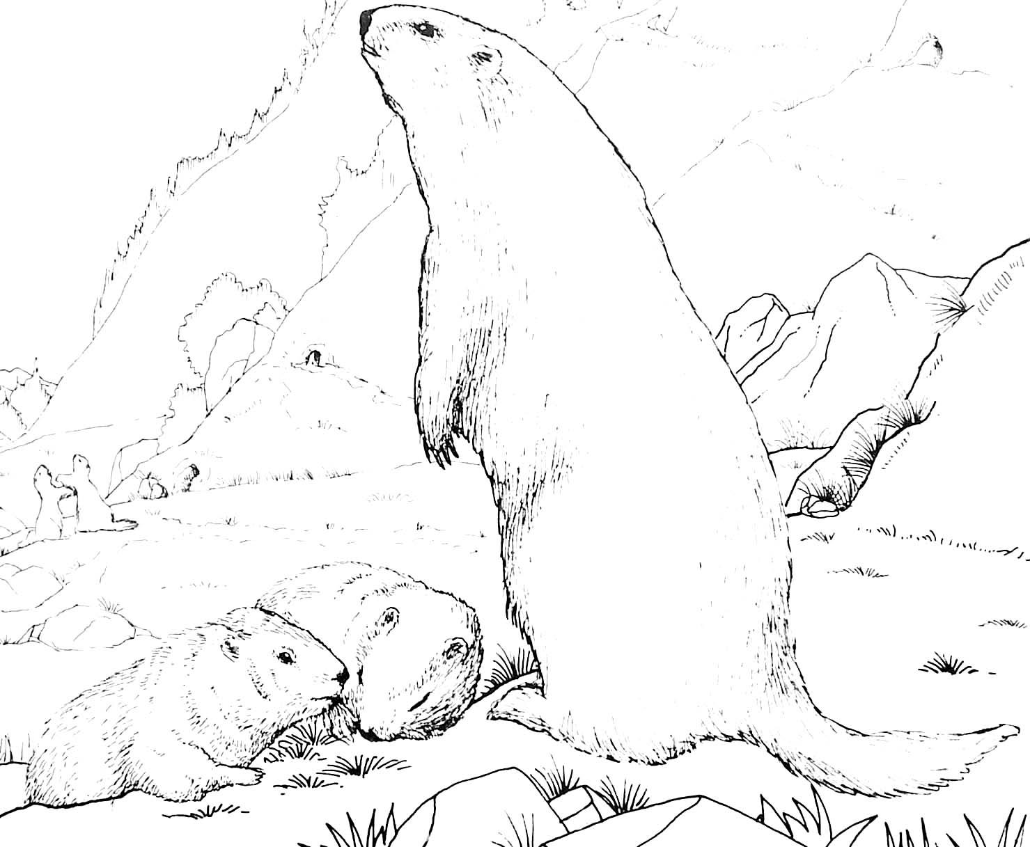 coloriage à dessiner marmotte
