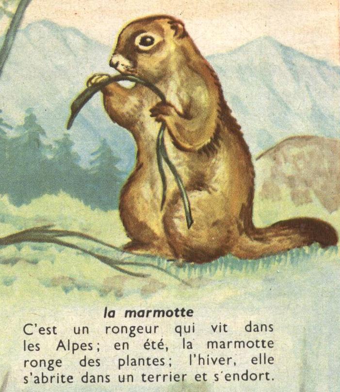 coloriage de marmotte