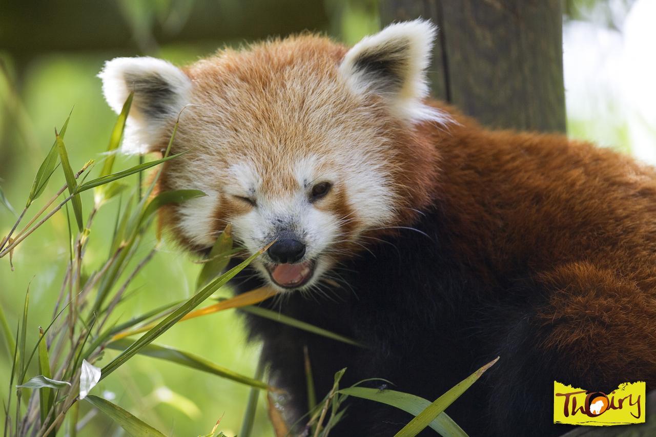 12 dessins de coloriage panda roux imprimer - Dessin panda roux ...