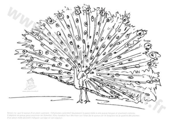 dessin d'un paon