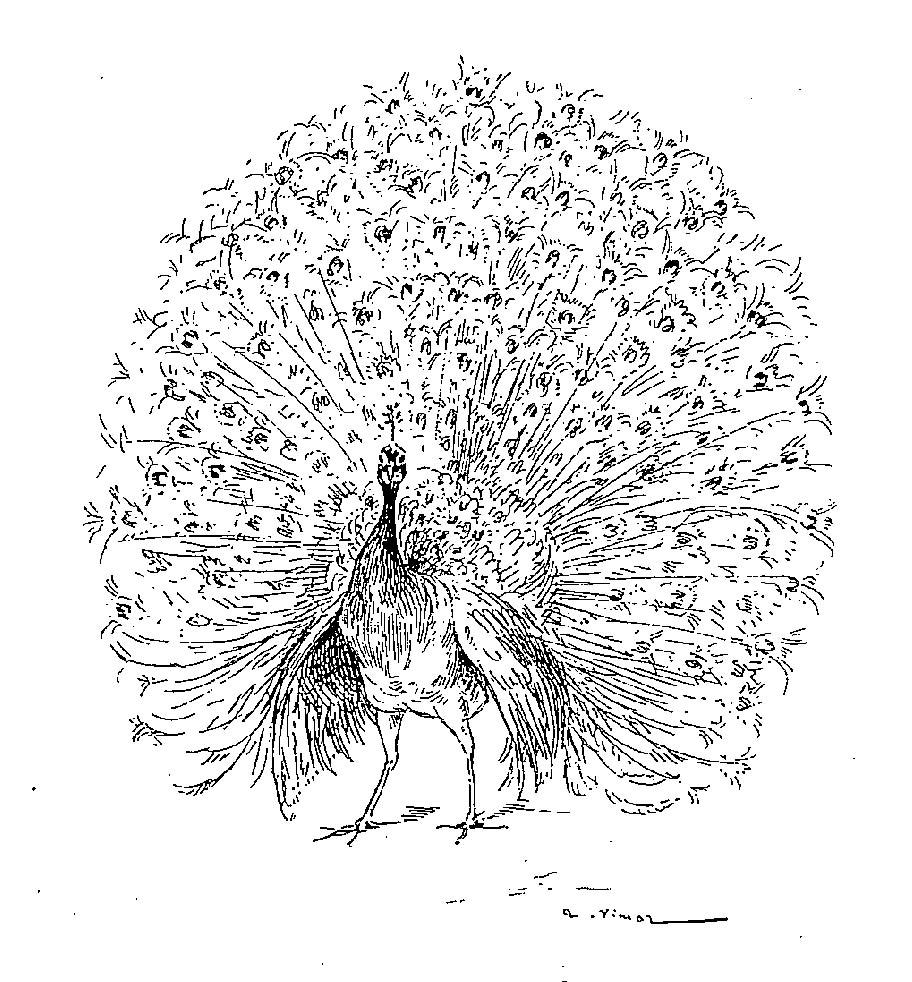 dessin à colorier paon imprimer gratuit