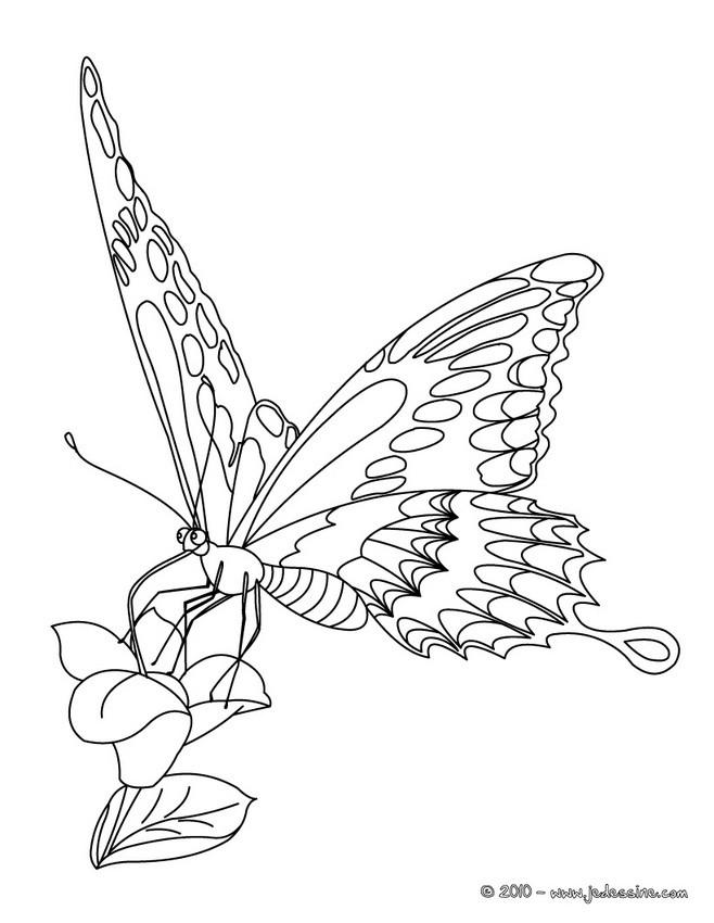 98 dessins de coloriage papillon difficile imprimer - Coloriage de papillon a imprimer gratuit ...