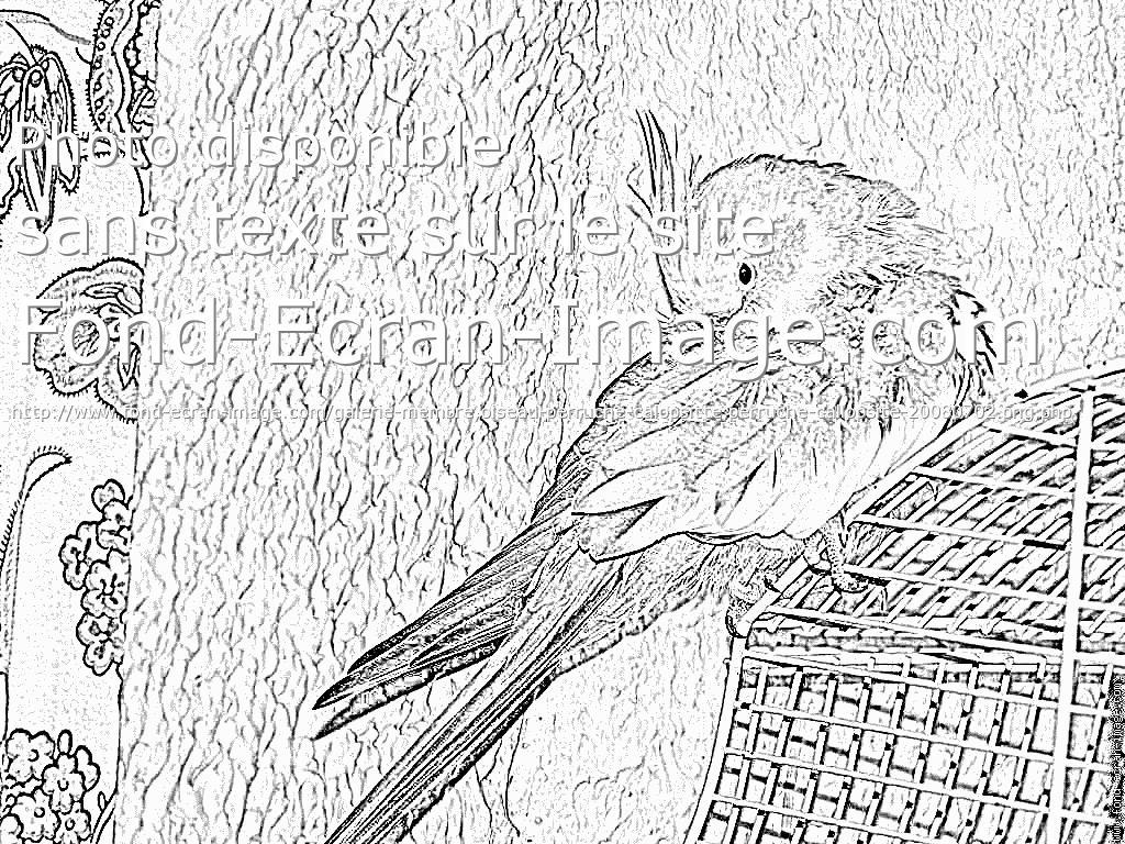 G nial coloriage perruche a imprimer haut coloriage hd - Coloriage perruche ...
