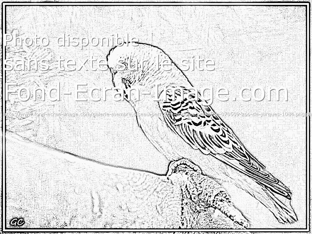 coloriage � dessiner perruche a imprimer