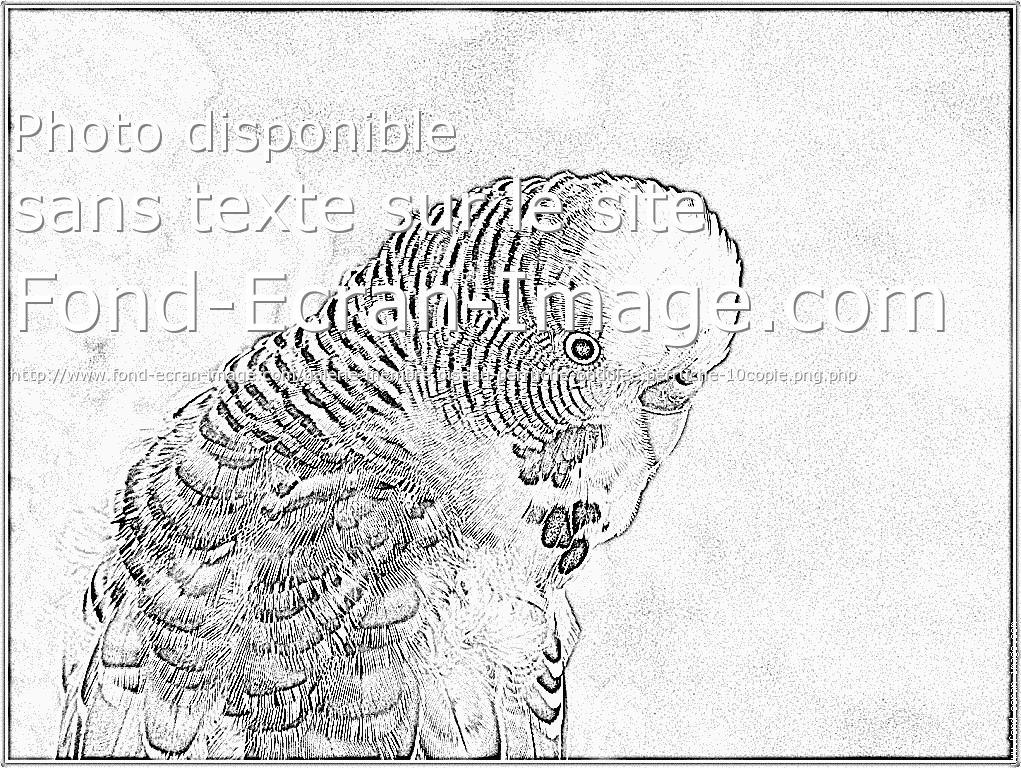 dessin à colorier perruche a imprimer