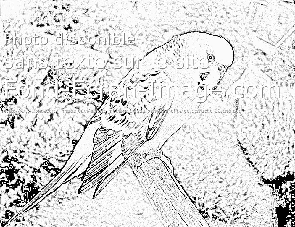 dessin à colorier perruche imprimer