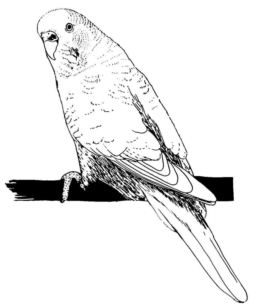 coloriage � dessiner de perruche ondul�e